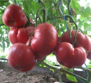розовые помидоры сорта