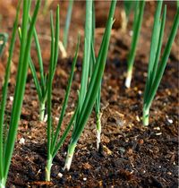 вырастить лук из семян за сезон