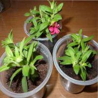 калибрахоа выращивание из семян