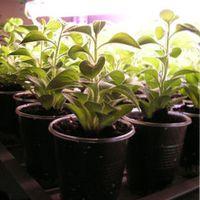 калибрахоа выращивание из семян в домашних условиях
