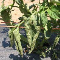 рассада помидор листья скручиваются