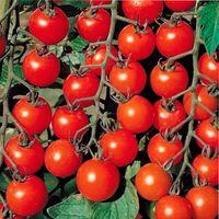 выращивание помидор черри