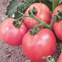 самые лучшие сорта помидор для теплицы