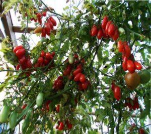 урожайные сорта помидор для теплицы
