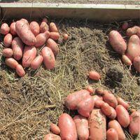 вырастить урожай картофеля