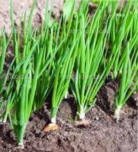 подготовка к посеву лука севка