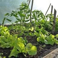 совместные посадки растений