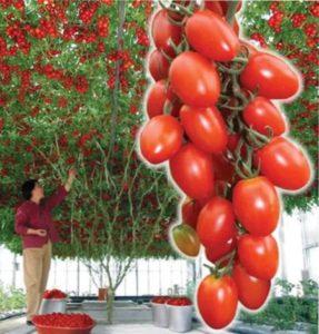 выращивание томата спрут F1
