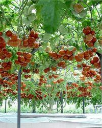 томат дерево спрут F1