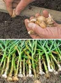 советы по выращиванию озимого чеснока