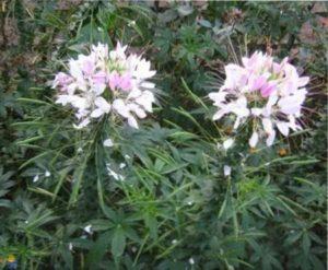 растение клеома