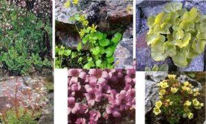 камнеломка цветущая
