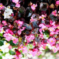 бегонии цветущие комнатные