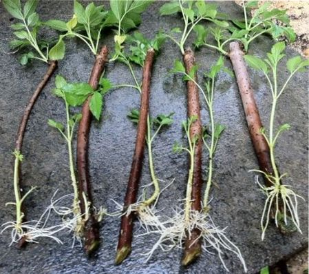 размножение садовой ежевики