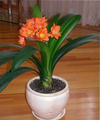 домашний цветок кливия уход