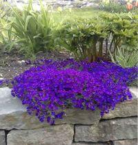 почвопокровные растения для сада