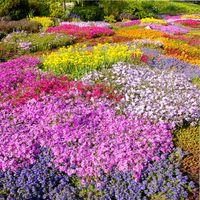 почвопокровные растения цветущие
