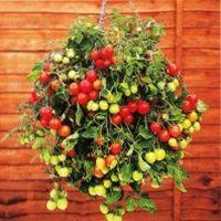 выращивание ампельных помидор