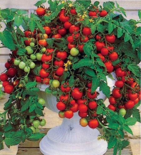 ампельные помидоры