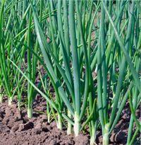секреты выращивания лука