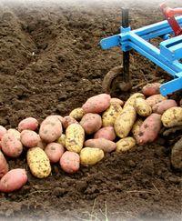 картофель хороший урожай