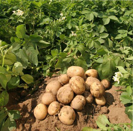 какой посадить картофель