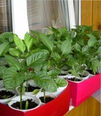 как грамотно вырастить рассаду