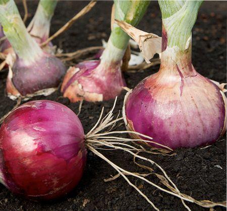 лук, условия выращивания