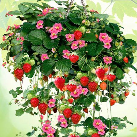 ампельная клубника выращивание