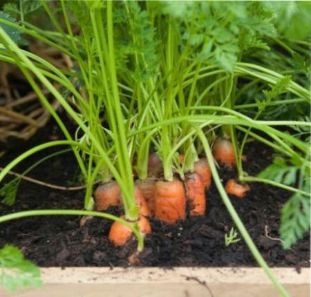 какая сладкая морковь
