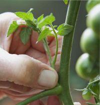 пасынкование помидор в грунте