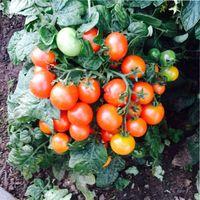 непасынкующийся томат отзывы