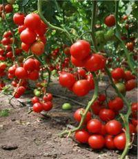удаление листьев у томатов