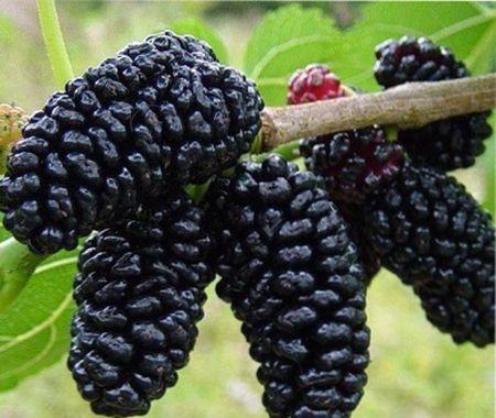 ягоды, похожие на ежевику