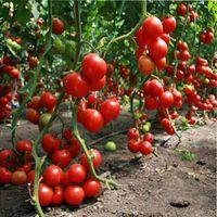 как ограничить рост томатов