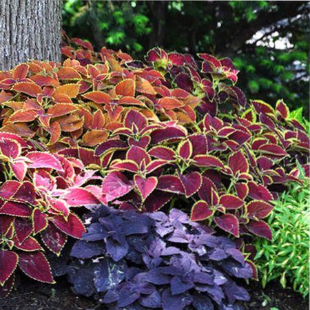 6 растений с красивой листвой