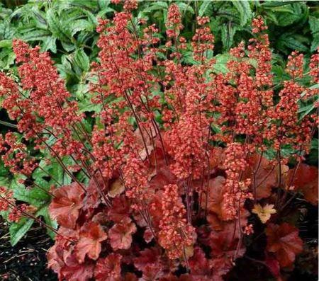 цветы гейхера, посадка