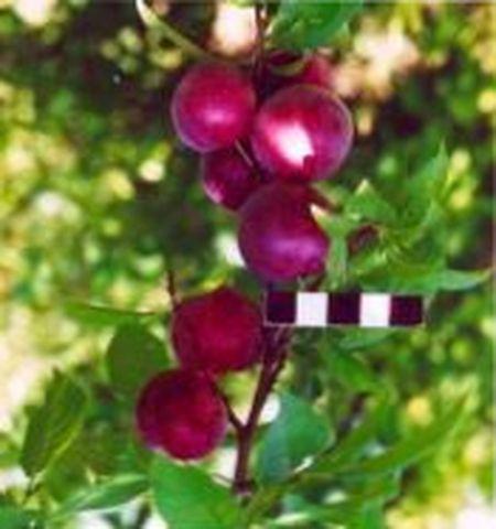 гибрид вишни и сливы, отзывы