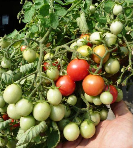 почему опадают цветы томата