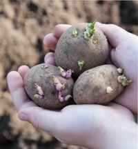 какую почву любит картофель