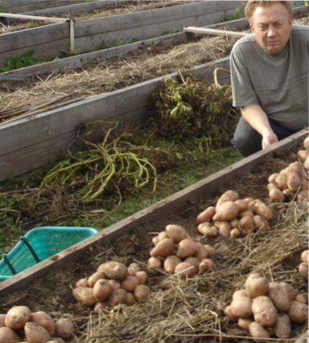 Что делать с картофельной ботвой