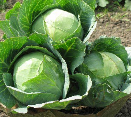 высокий урожай капусты