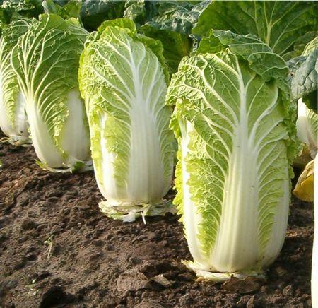 ак повысить урожайность капусты