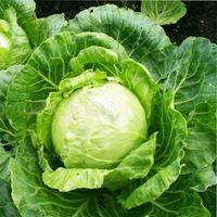 как повысить урожайность капусты