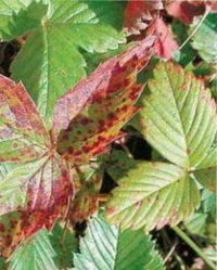 краснеют листья клубники