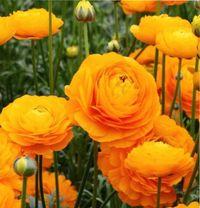 цветок, похожий на розу, ранункулюс