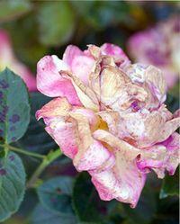 причины увядания розы