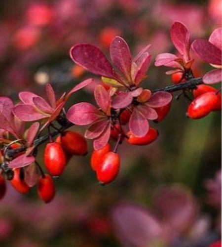 кустарники с яркими плодами