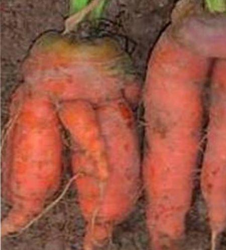 почему морковь корявая