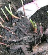 как пересадить пионы осенью